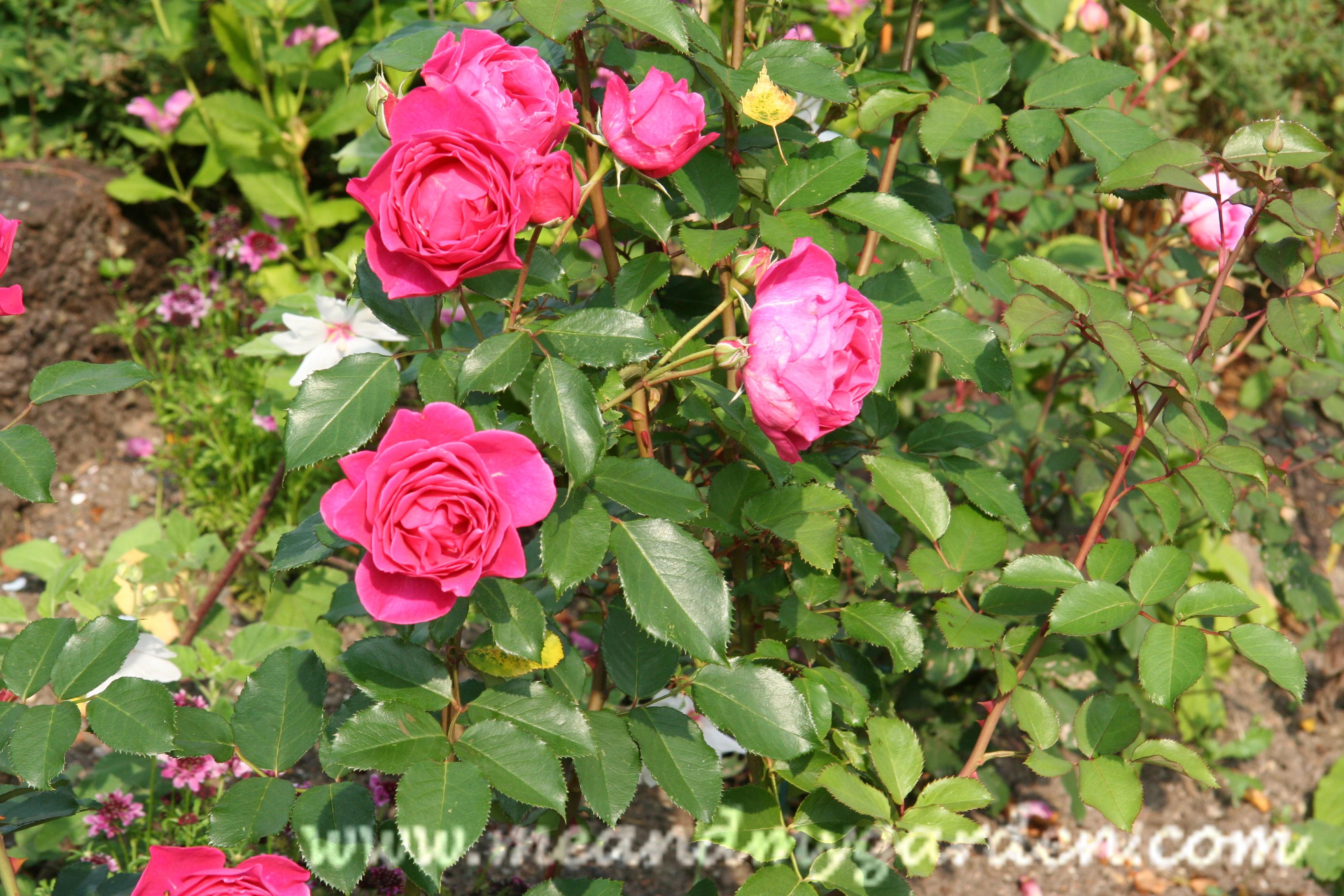 vanning av roser